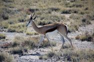 Springbok in etosha national park namibia Stock Photos