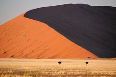 Ostrichs in front of a big dune in namib desert Stock Photos