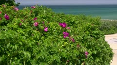 Beautiful Wild Roses - Baltic Sea, Northern Germany Stock Footage