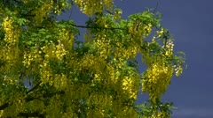 Laburnum anagyroides - Baltic Sea, Northern Germany - stock footage