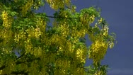 Stock Video Footage of Laburnum anagyroides - Baltic Sea, Northern Germany