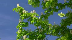 Chestnut Flowers in Mecklenburg - Baltic Sea, Northern Germany - stock footage