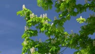Stock Video Footage of Chestnut Flowers in Mecklenburg - Baltic Sea, Northern Germany