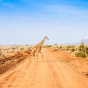 Free giraffe in kenya Stock Photos