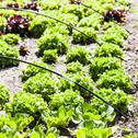 Stock Photo of vegetable garden