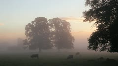 Cows in the mist at sunrise Stock Footage