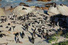 African penguins - stock photo