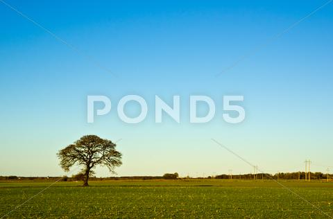 Stock photo of solitaire oak tree