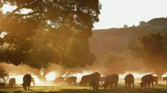 Cows in the mist at dawn Stock Footage