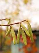 Hazel (Corylus avellana) catkins in the autumn garden Stock Photos