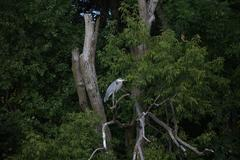 Blue Heron perched in a tree - stock photo