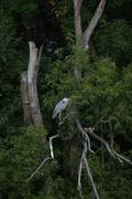 Blue Heron perched in a tree Stock Photos
