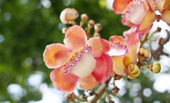 salavan lanka flowers - stock photo