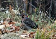 Stock Photo of Northern Flicker