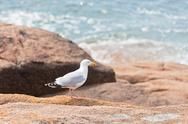 Stock Photo of white seagull on the large granite stone