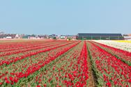 Stock Photo of red tulip field in holland