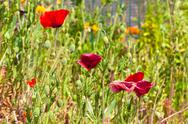 Stock Photo of red and purple poppies in a summer meadow