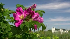 Beautiful Wild Rose in Heiligendamm - Baltic Sea, Northern Germany Stock Footage