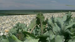 Sea Kale on the Beach - Crambe maritima - Baltic Sea, Northern Germany Stock Footage