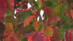 Raining On Bright Colored Cherry Tree - stock footage