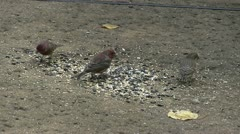 House finches Stock Footage