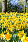 Yellow narcissus flowerbed Stock Photos