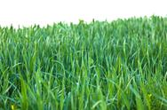 Stock Photo of green grass with raindrops isolated