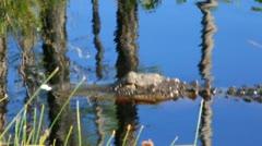 Alligator Swimming in the Sun Stock Footage