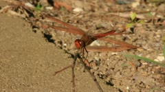 Dragonfly Lands on Twig and Flies Away (Close Up) - stock footage