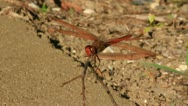 Stock Video Footage of Dragonfly Lands on Twig and Flies Away (Close Up)