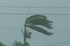 Palm tree sways as a dangerous hurricane approaches Stock Footage