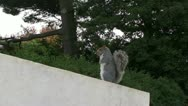 Fat Squirrel Stock Footage