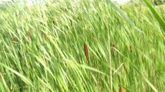 Cattails Blowing in the Wind - stock footage