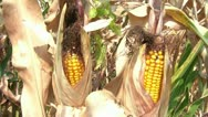 Corn in Husk amid Drought Stock Footage