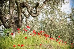 tuscan poppies and olive trees - stock photo