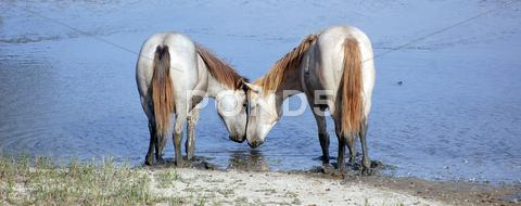 Stock photo of Horses in love