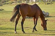 Stock Photo of Brown horse