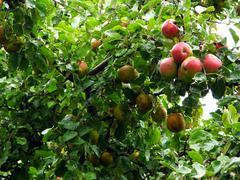 Apple tree on a rainy day Stock Photos