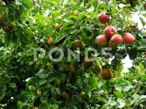 Stock photo of Apple tree on a rainy day
