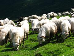 Sheep flock - stock photo