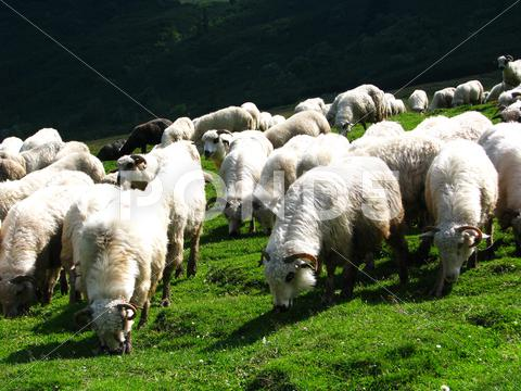 Stock photo of Sheep flock