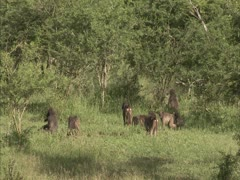 Troop of baboons eating in the veld. Stock Footage