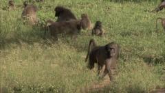 A baboon walking Stock Footage