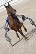 harness racing - stock photo