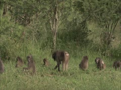 Baboons in the veld . Stock Footage