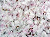 Cherry blossoms petals Stock Photos