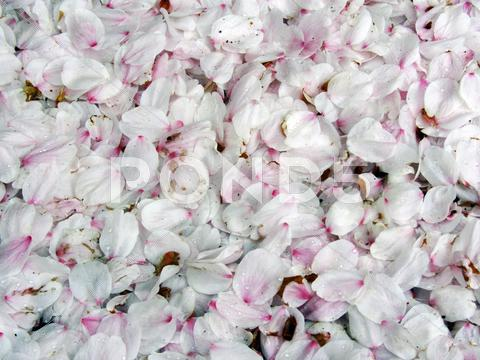 Stock photo of Cherry blossoms petals