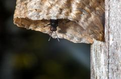 Black Wasp Coming out of Hive - stock photo
