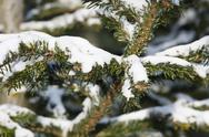 Stock Photo of fir tree covered with snow