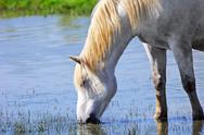 Stock Photo of white horse